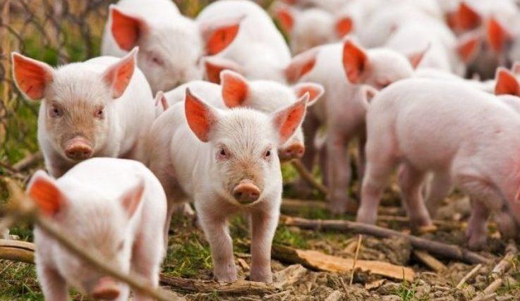 В м. Хмельницький відбувся семінар по відпрацюванню алгоритму протидії Африканській чумі свиней