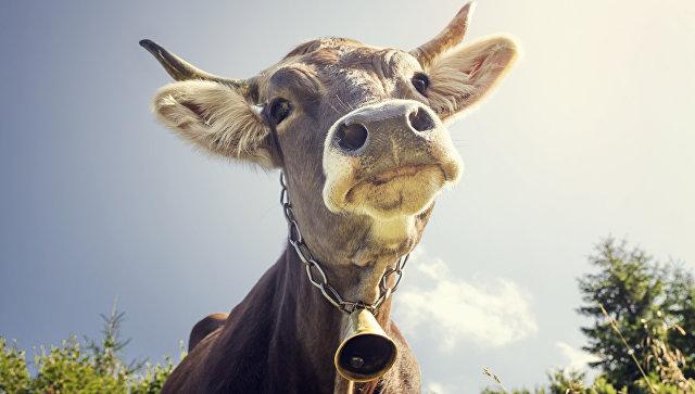 Суд скасував накладення штрафу на власника великої рогатої худоби