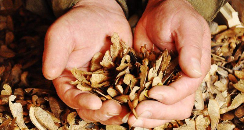 Лісгоспи Хмельниччини заготували торік майже сімдесят тонн добірного насіння