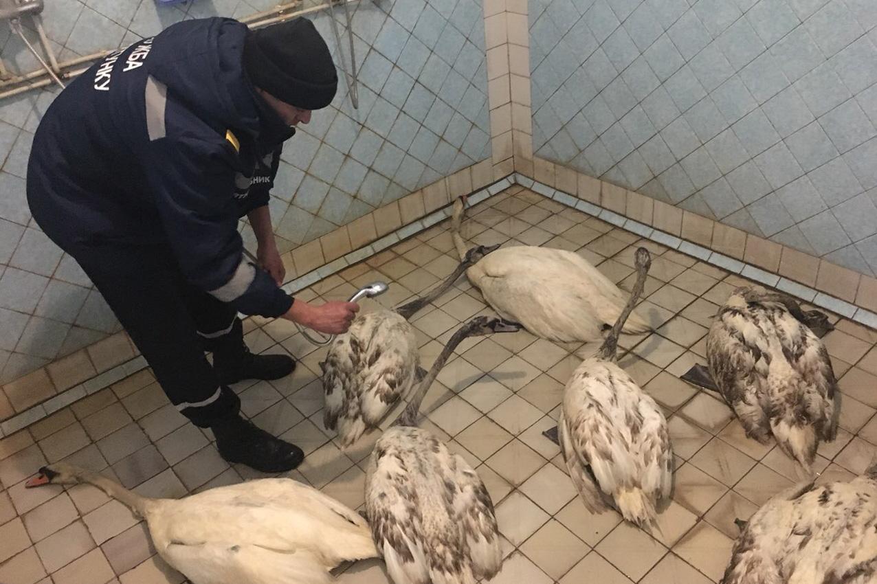 В Кам'янці врятували сім лебедів з нафтової пастки